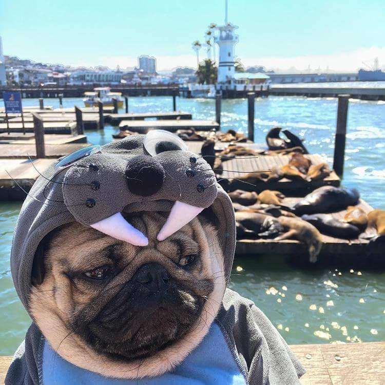 sad-pug-wanna-be-sealion