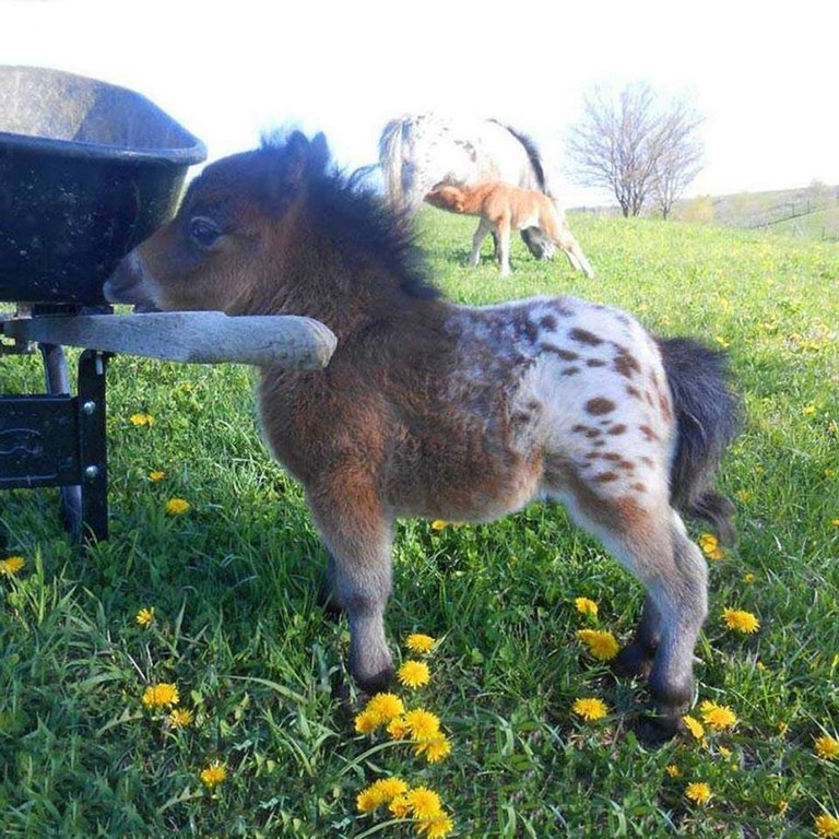 A baby mini Apaloosa horse - busterbrown78 - http://bit.ly/2BfkEmH