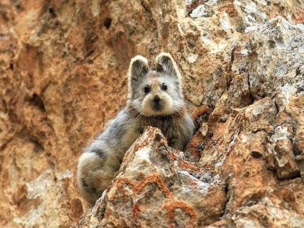 Chinas endangered Magic rabbit photographed for the first time in 22 years. - dadankness - http://bit.ly/2iUABrP
