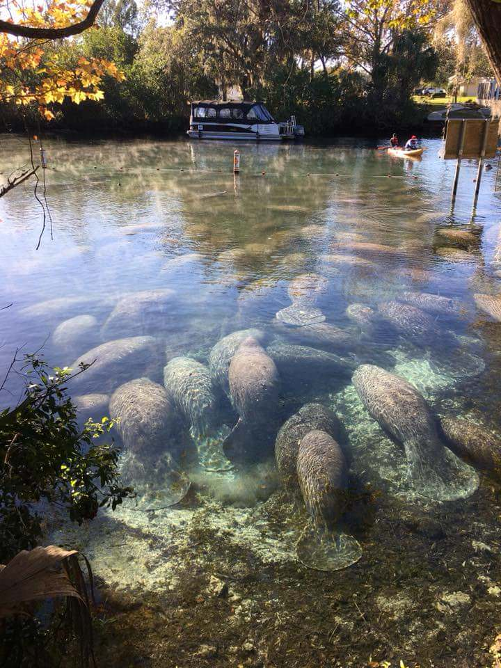 Manatees in Crystal Springs this morning - crumbbelly - http://bit.ly/2AtmrbP