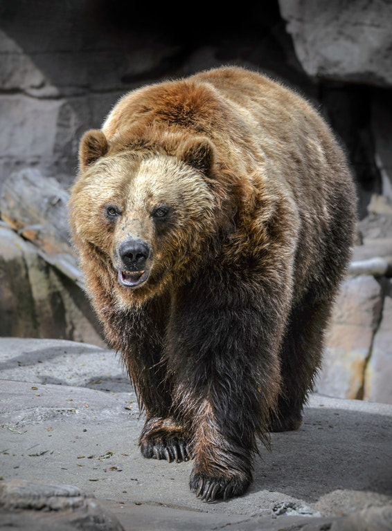 Brown Bear Stare Down - Breaking_IceandFire - bit.ly2BCzWSl