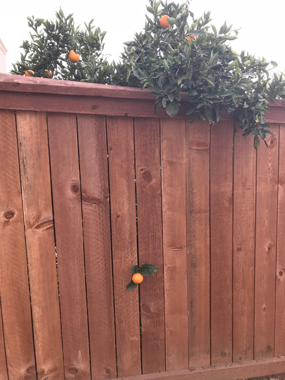 This orange that grew on the other side of the fence - Iwanttobefunnytoo - http://bit.ly/2mc5vxF