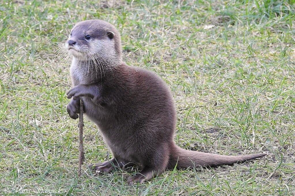 This otter using a stick as a cane - Quantext609 - http://bit.ly/2FEzS7L