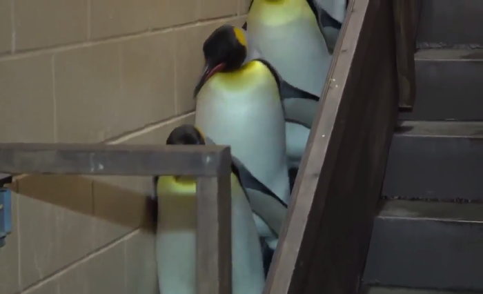 Video: These Penguins have their own Imperial March