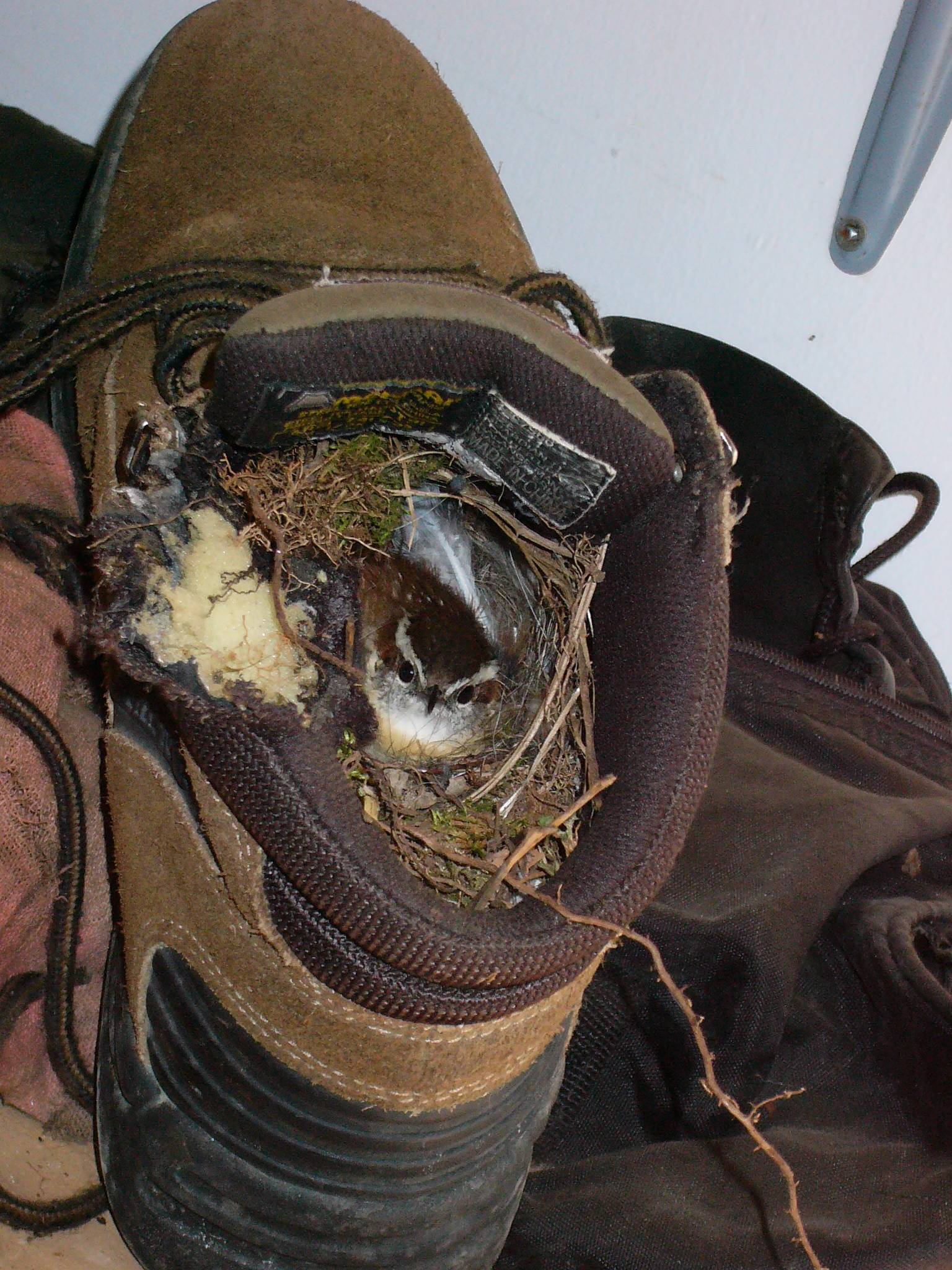 Bird nesting in a boot - SashaPanther - bit.ly2osdwPU