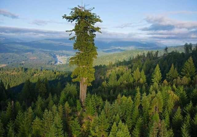 the tallest tree in the world. It stands 380 feet tall and is over 800 years old - jimmyjeeb24 - bit.ly2DlCGo6