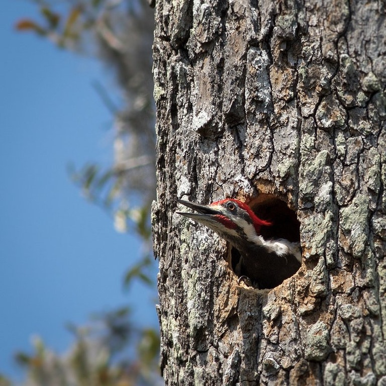 Pileated Woodpecker - zacharycava - bit.ly2qhcAiy