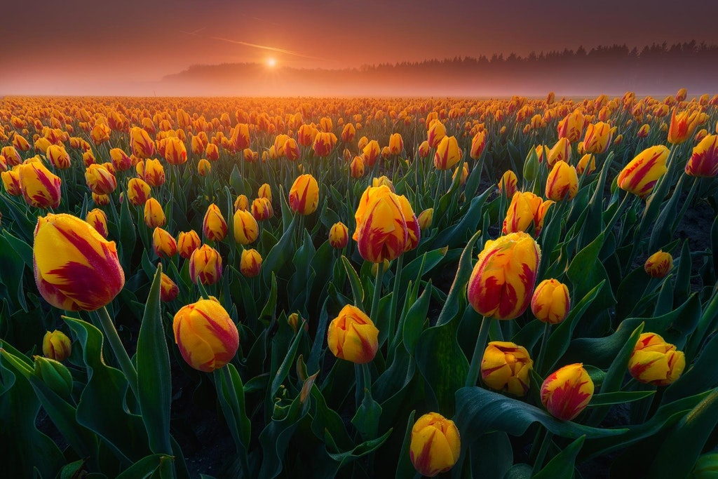 Woke up at 5AM to catch the tulips with morning mist, the Netherlands - cryptodesign - https-::bit.ly:2qLMW5F