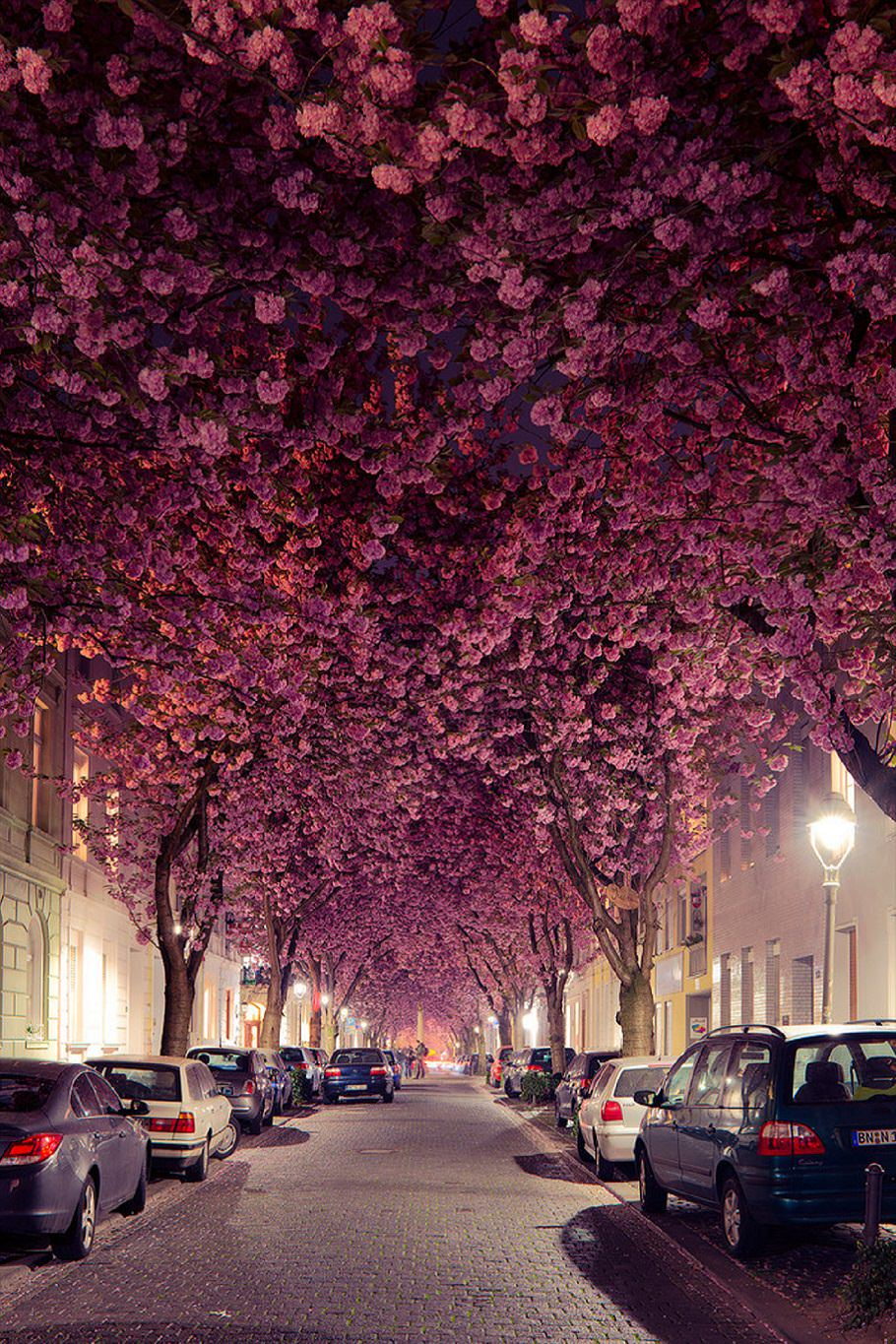 Cherry Blossom Trees in Germany - a5748487 - bit.ly2x1fuxy