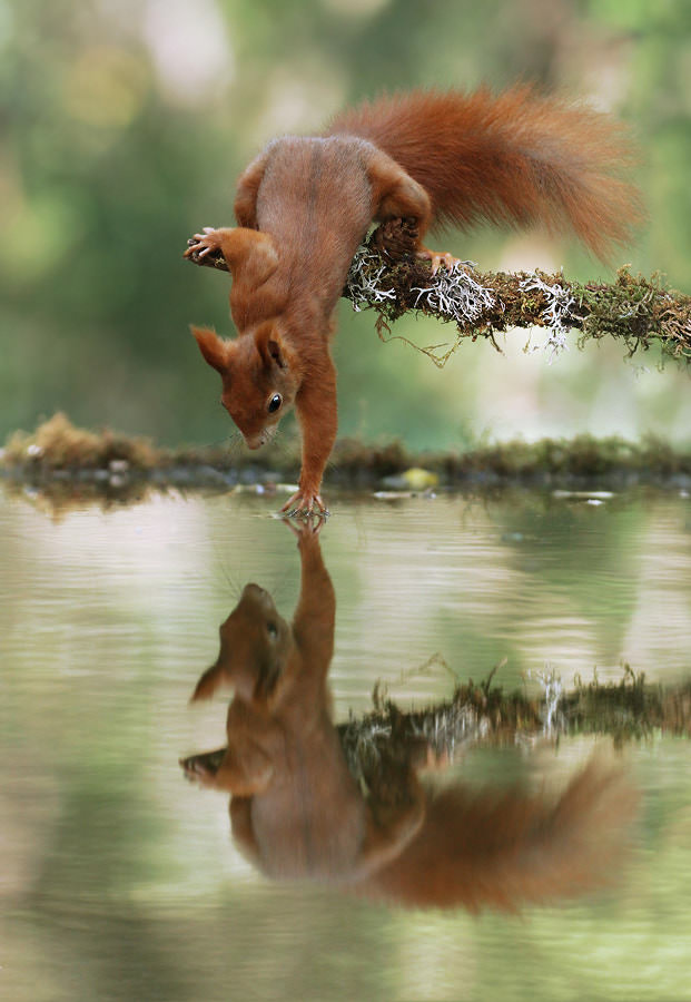 Squirrel on a branch leaning over and touching his reflection in the water - scbmobile - bit.ly2ky2o1I