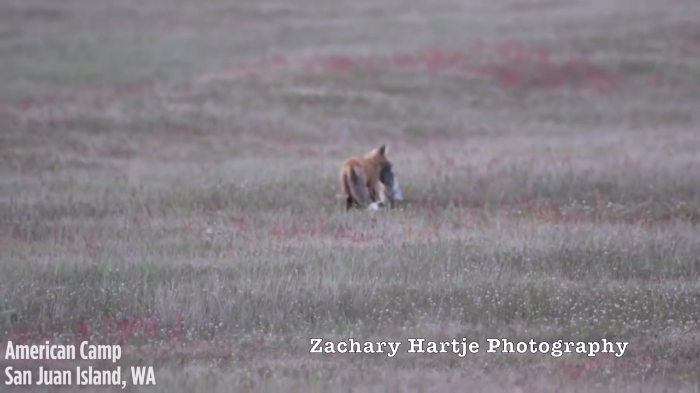 Video: This Fox just lost his lunch to the flying Eagle