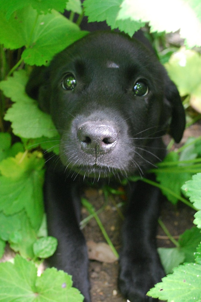 Black Labrador two months after birth. - inipoos - bit.ly2JbyxuV