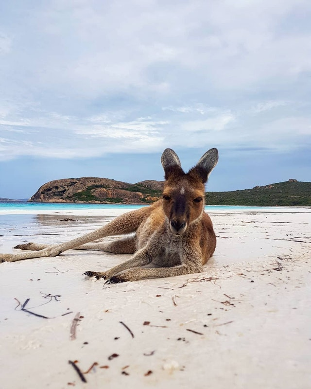 Just a kangaroo chilling on a beach in Australia - danherb4 - bit.ly2LJmnpU