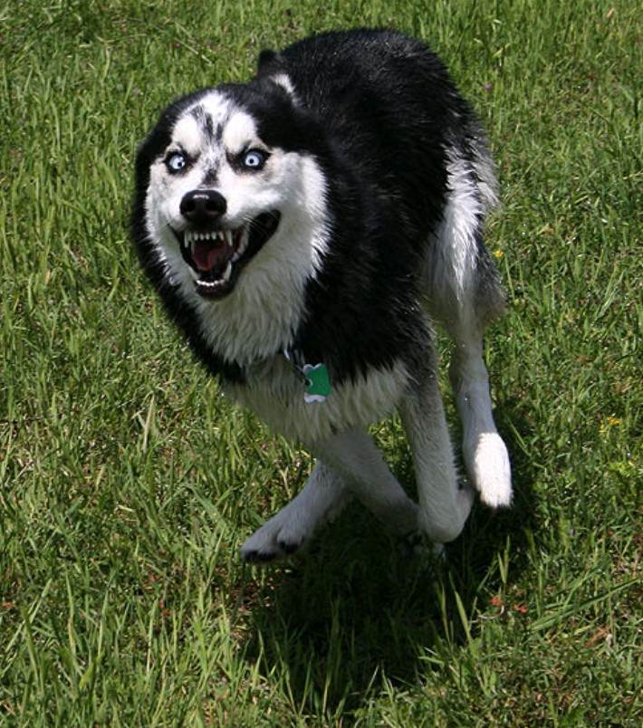 This Husky zooming - datsoldierboy - bit.ly2lzBZRH