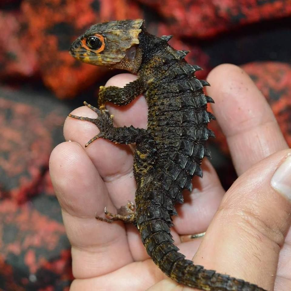 This Crocodile Skink looks like a baby dragon - Palana - bit.ly2zoSdqz