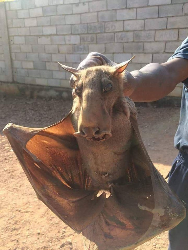 This is a hammerhead bat and is by far the creepiest animal I've seen. - AestheticPurrfection - bit.ly2LNk9ZZ
