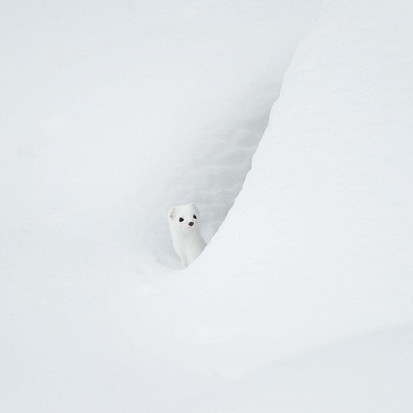 Arctic Ermine - BunyipPouch - bit.ly2odMCuD