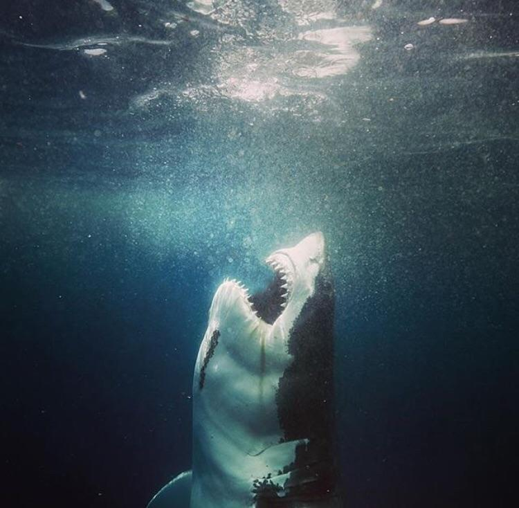 Great White About to Breach - no_talent_ass_clown - bit.ly2ORSi9c