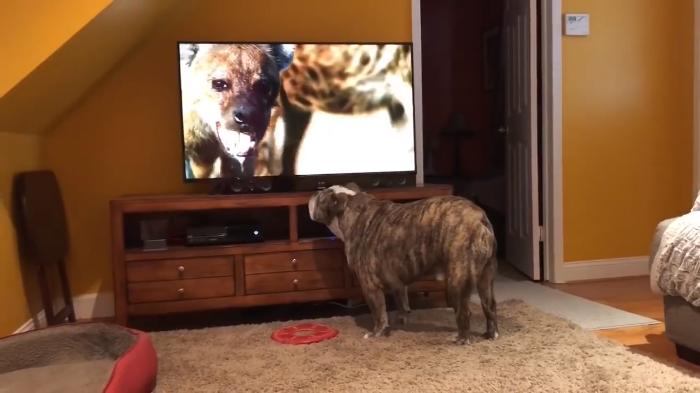 Video: This bulldog is standing up for her little brother