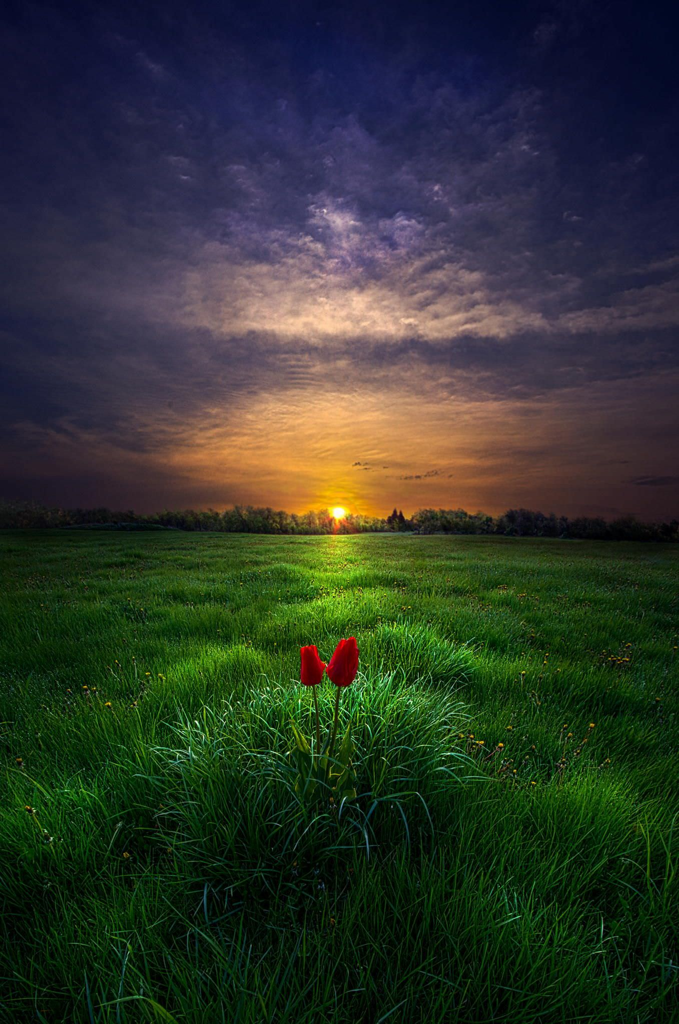 A pair of tulips watch the sun rise over Wisconsin - spicedpumpkins - bit.ly2wDqtKe