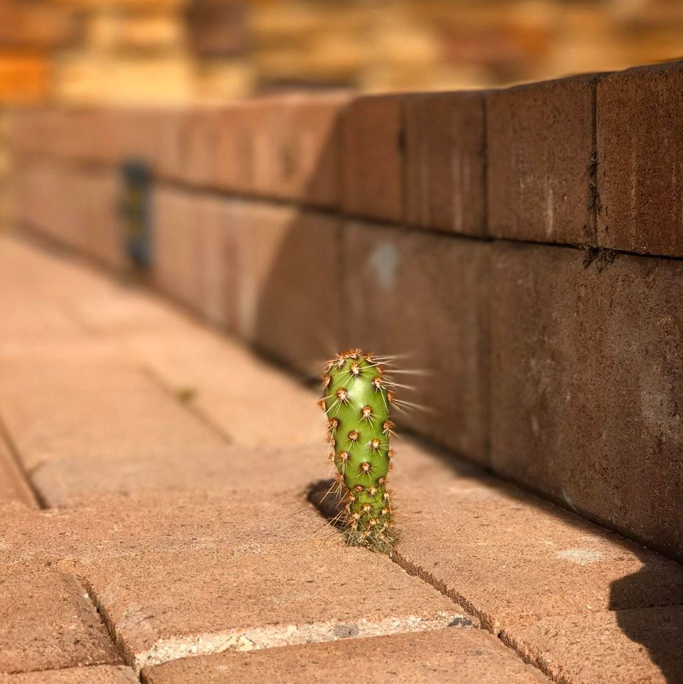 A persistent little cactus finds its way through the brick patio