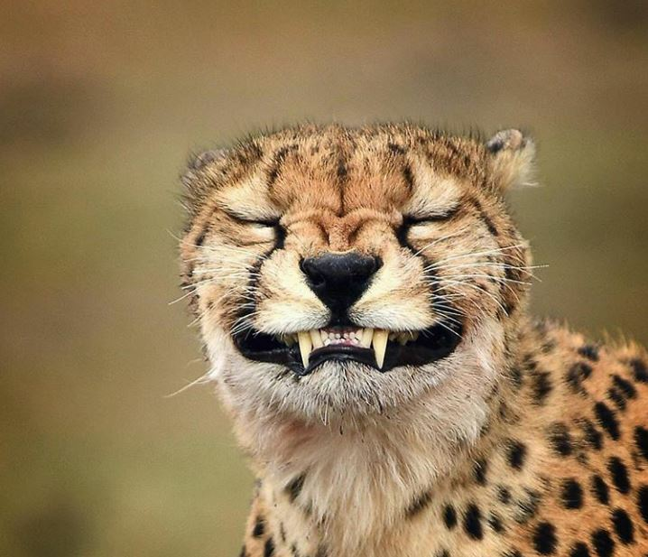 Cheetah pulling a rather unusual facial expression