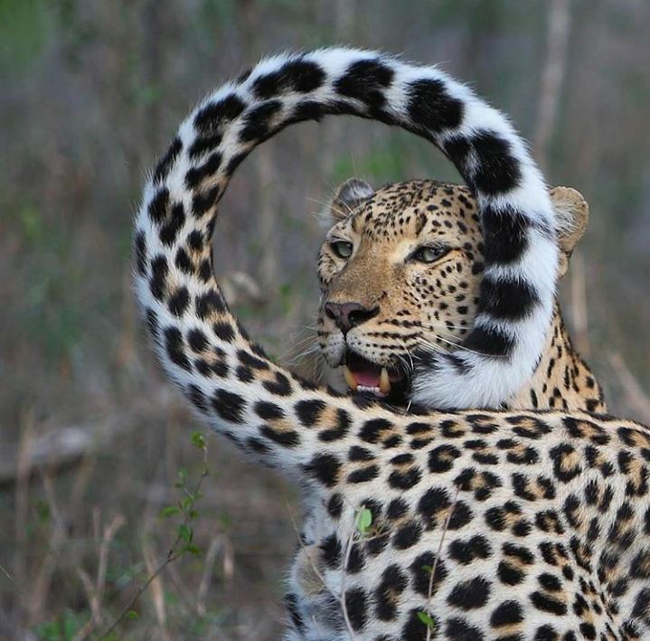 Leopards in the wild