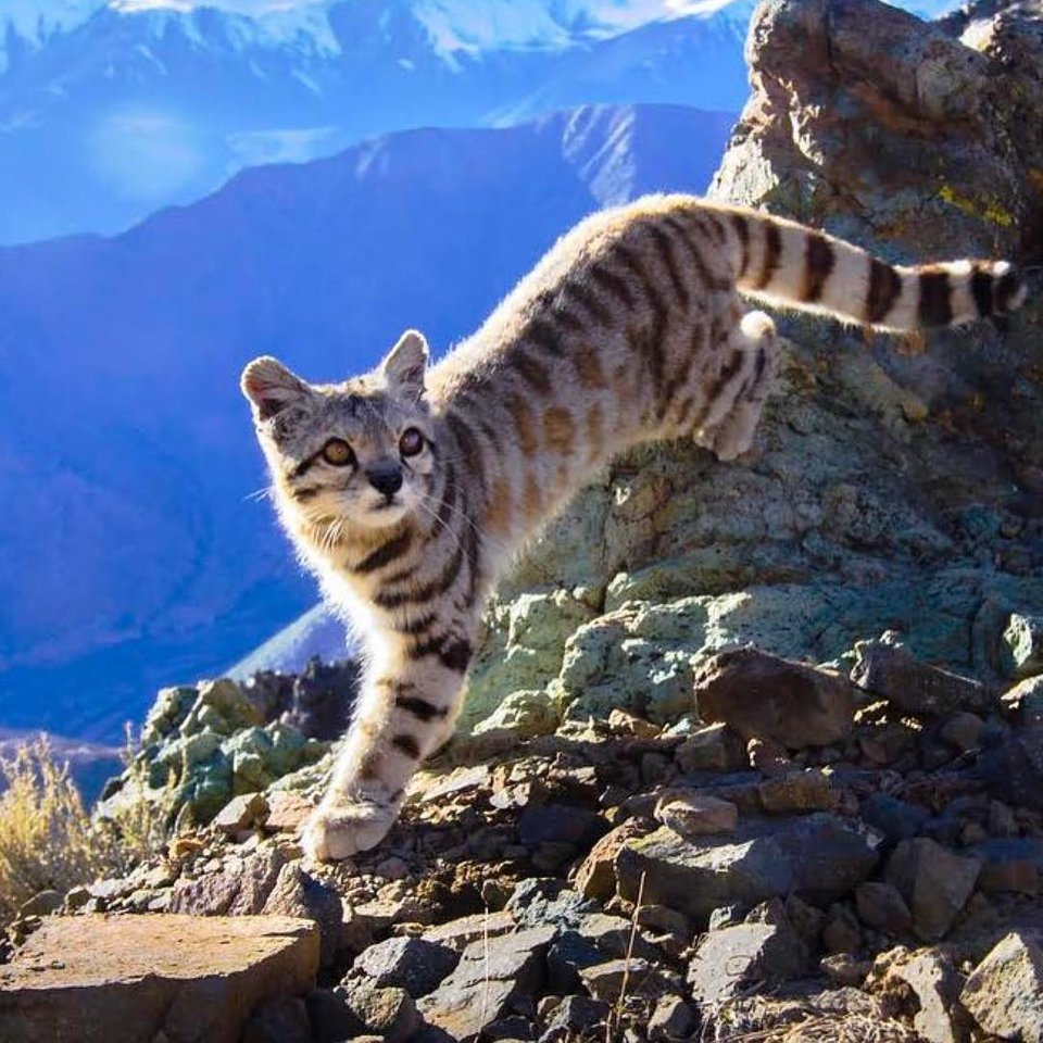 The Andean Cat. They are listed as endangered by IUCN