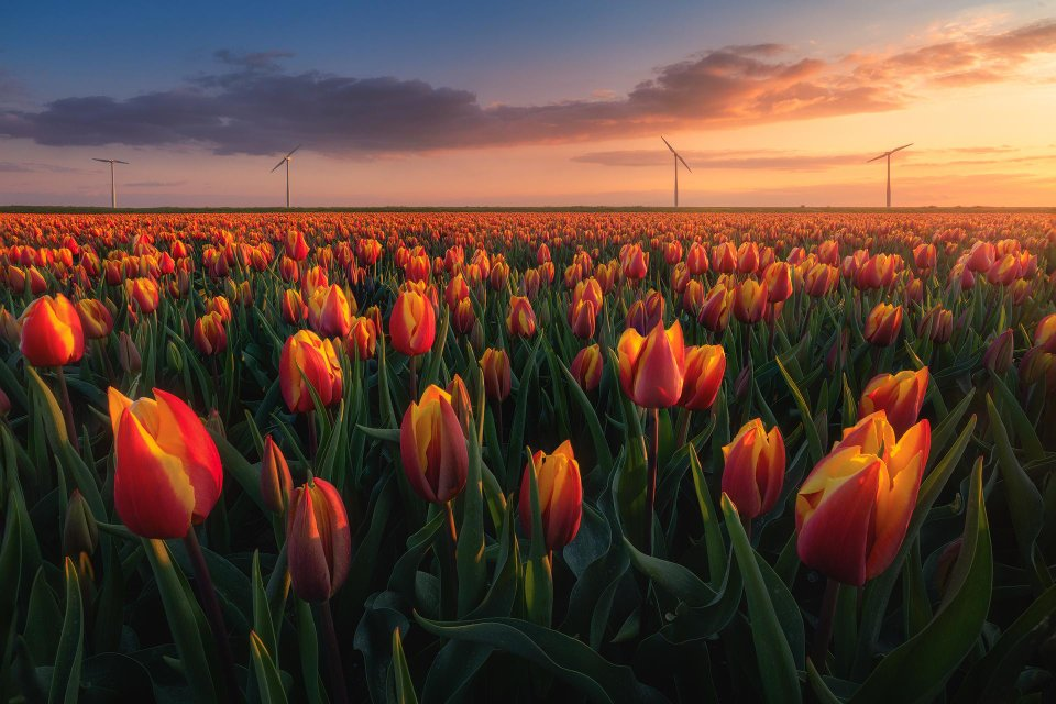 Dutch Tulips During a Sunset Yesterday