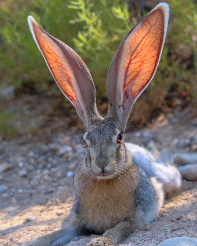 The ears in the Antelope Jackrabbit are large enough to regulate their body temperatures by expanding