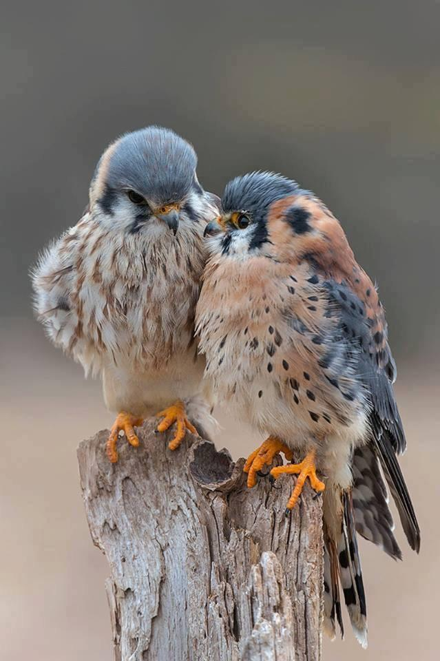 Two Peregrine Falcons