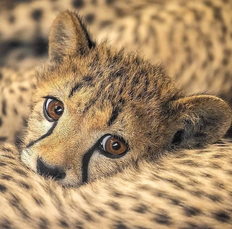 Amazing shot of a baby cheetah! Welcome to this beautiful world young one