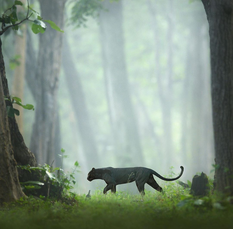 A black panther in Nagarhole National Park in India