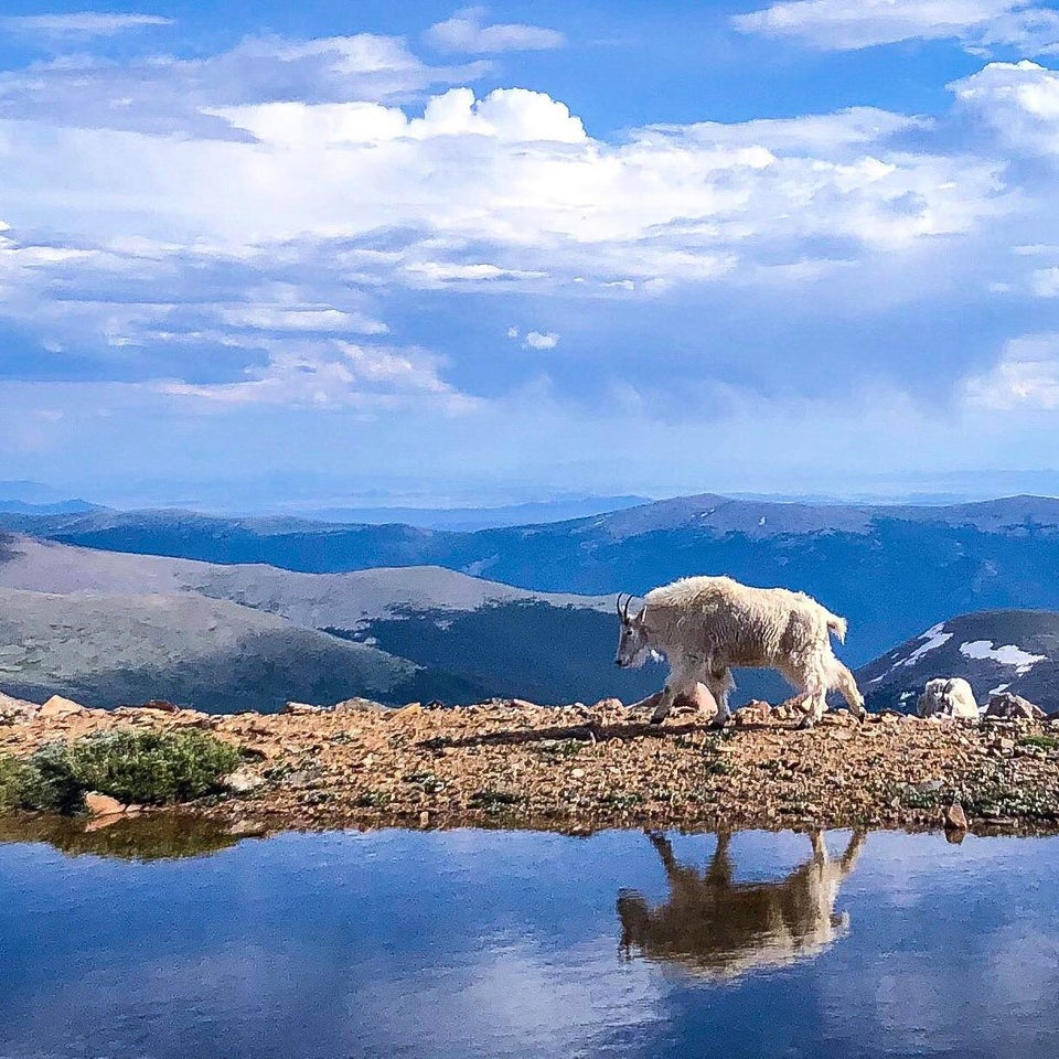 A Mountain Goat near the summit of Mount Evans, Colorado
