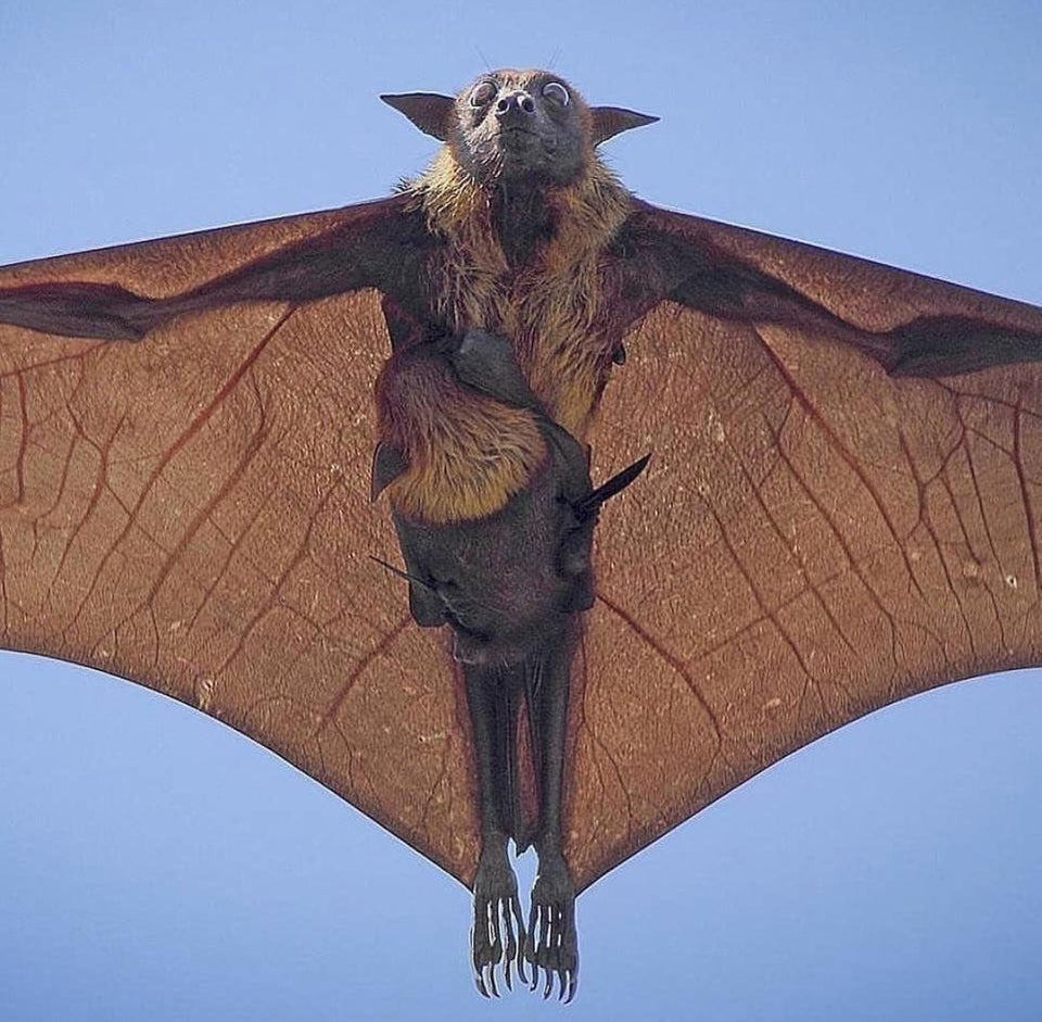 Indian flying fox and baby along the ride