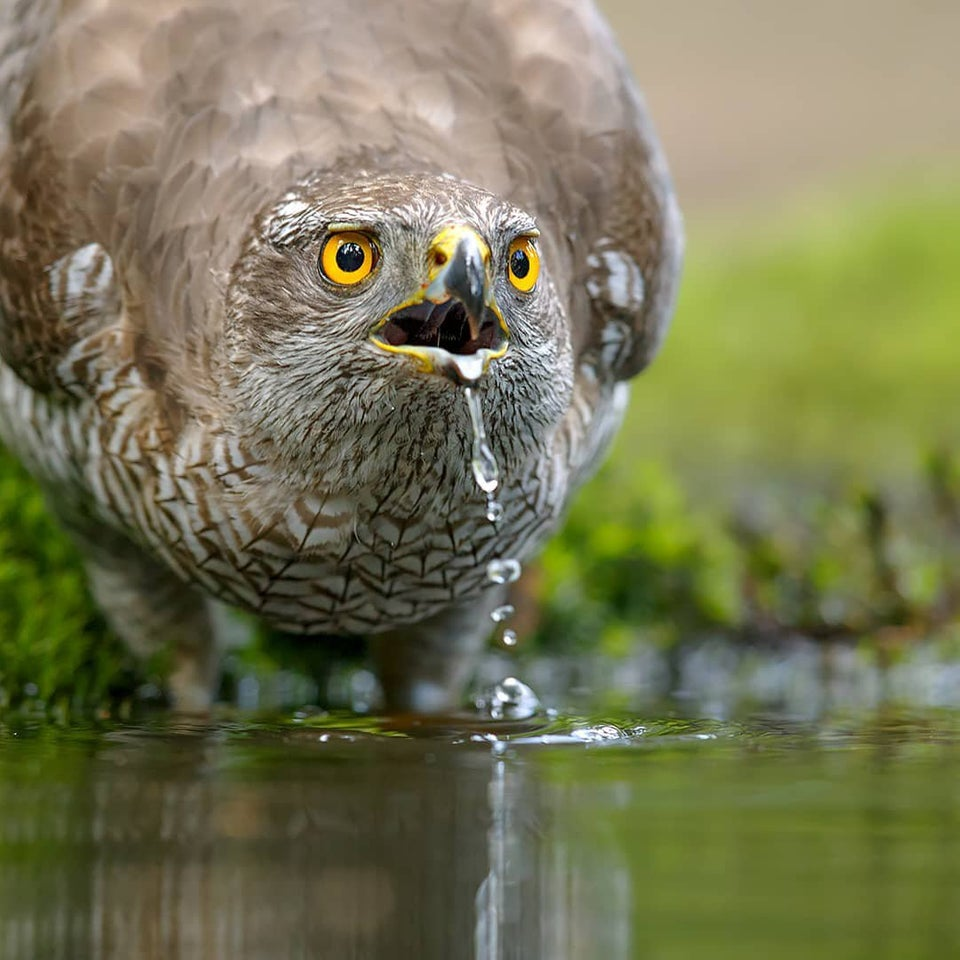 Very Beautiful Northern Goshawk, captured just in the right moment