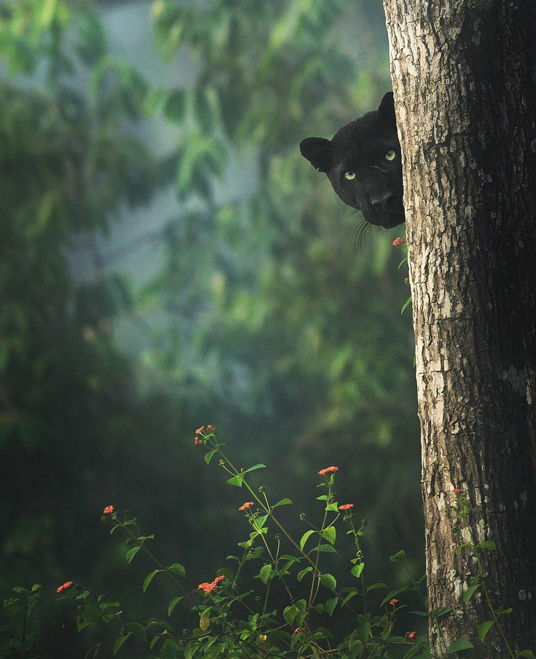 A cautious black panther in Nagarhole National Park, India