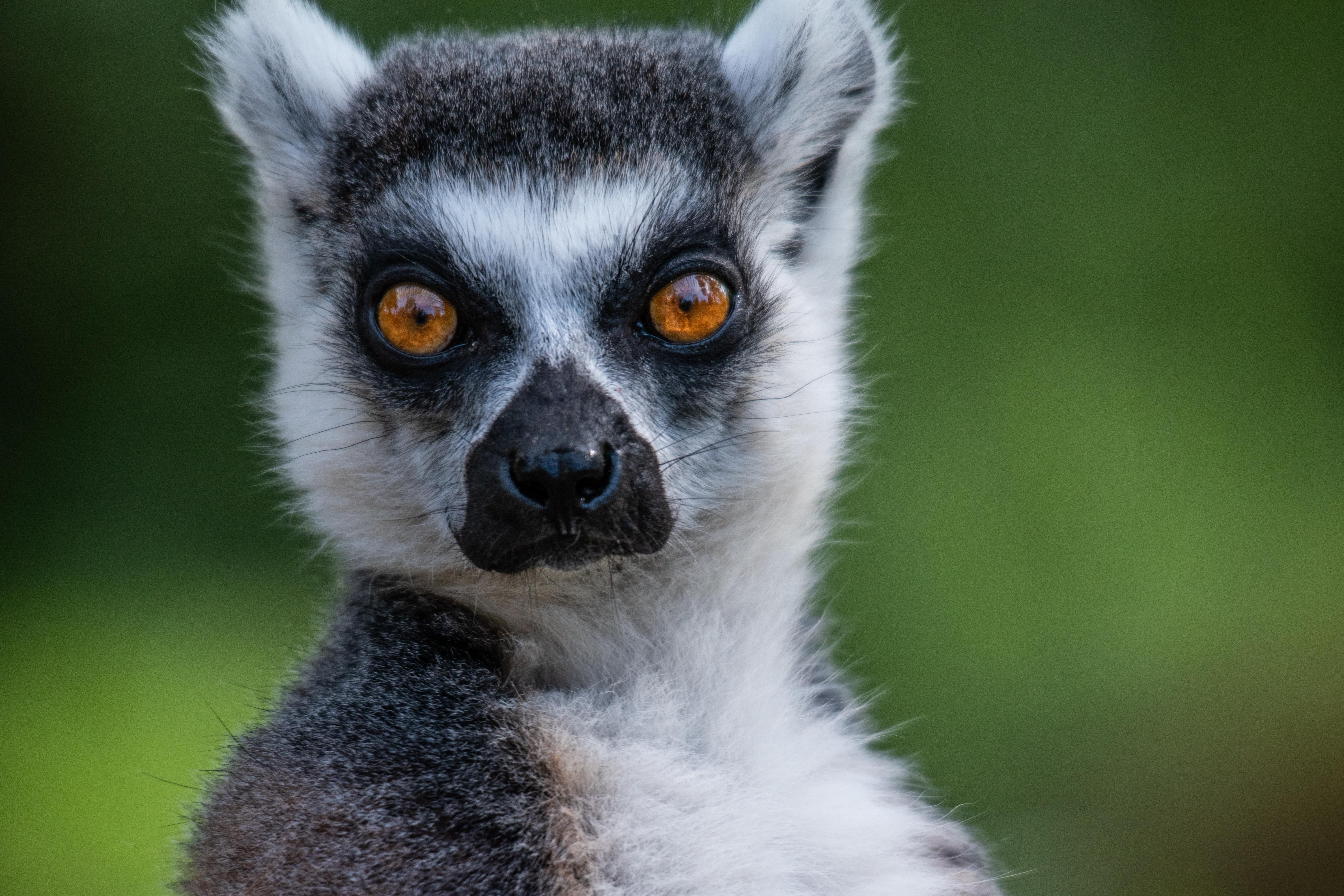 A lemur and its beautiful big eyes