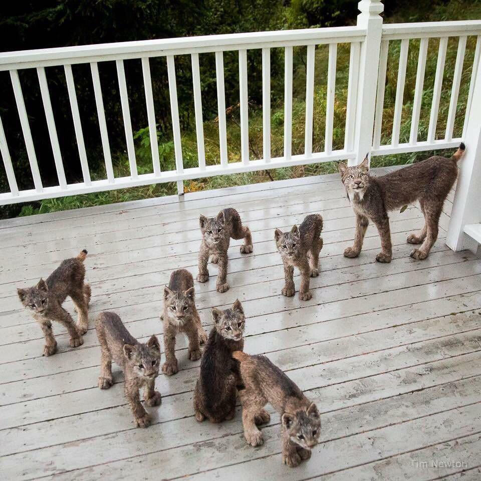 Mother lynx and her seven cubs hanging out on a porch in Anchorage, Alaska
