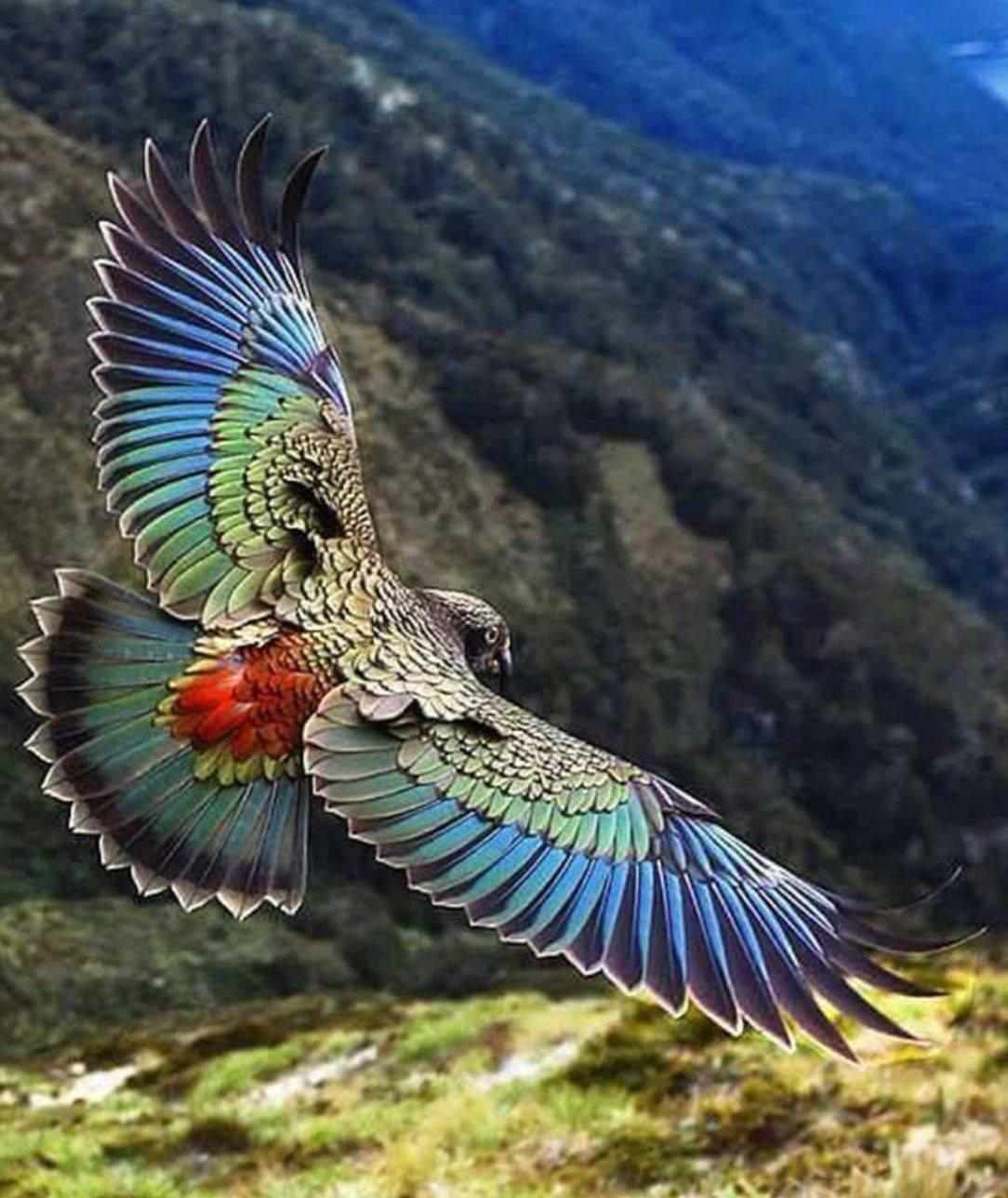 New Zealand Kea in flight