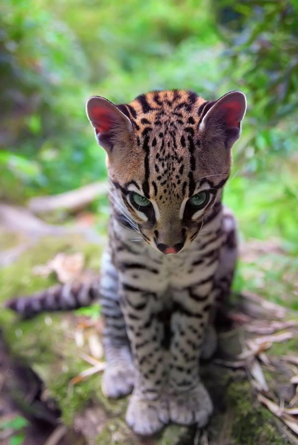 Scary baby Ocelot stare
