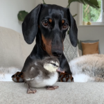 Video: Dog and Duckling are Best Buddies