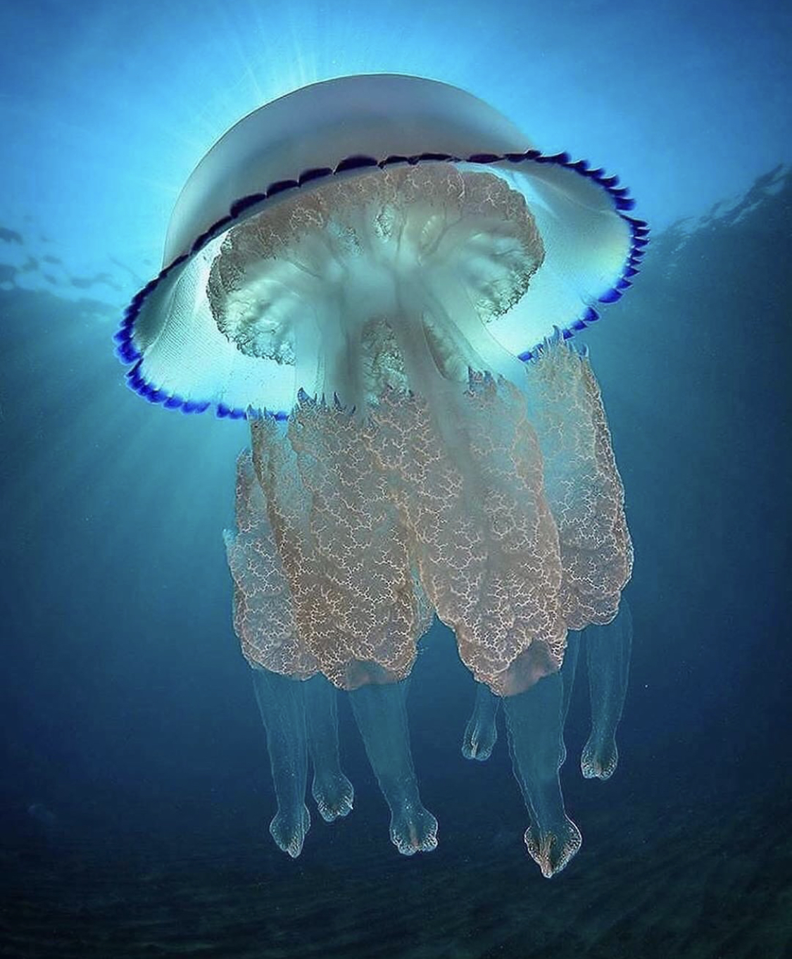 The incredibly stunning and dangerous barrel jelly fish in the ocean