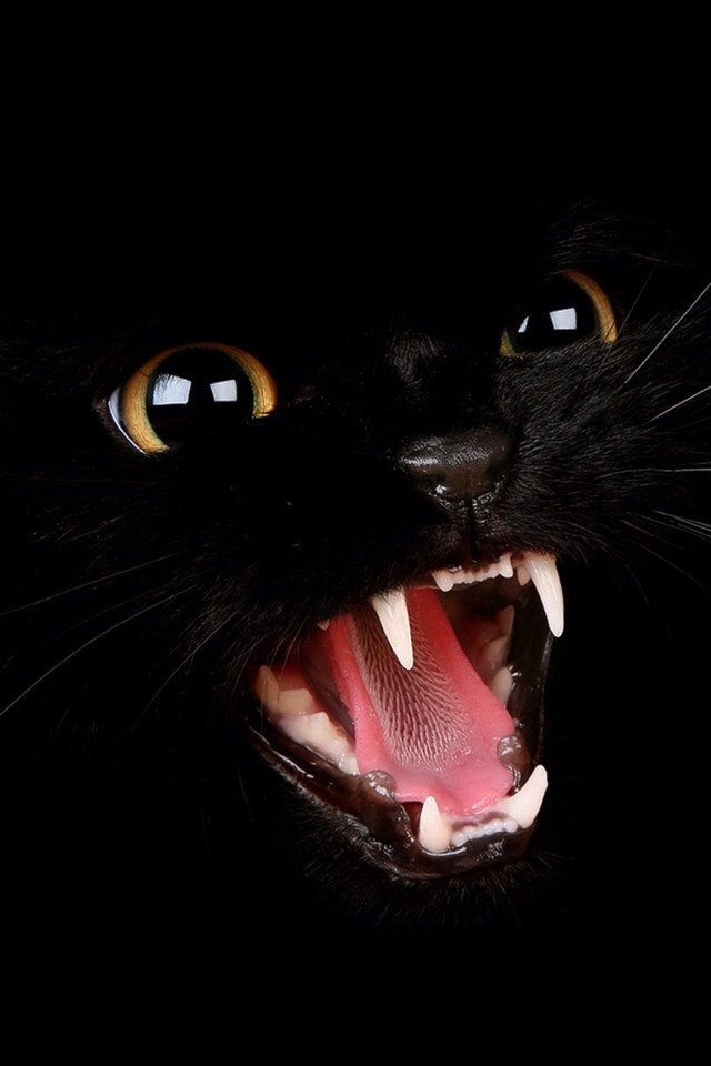 A black cat meowing