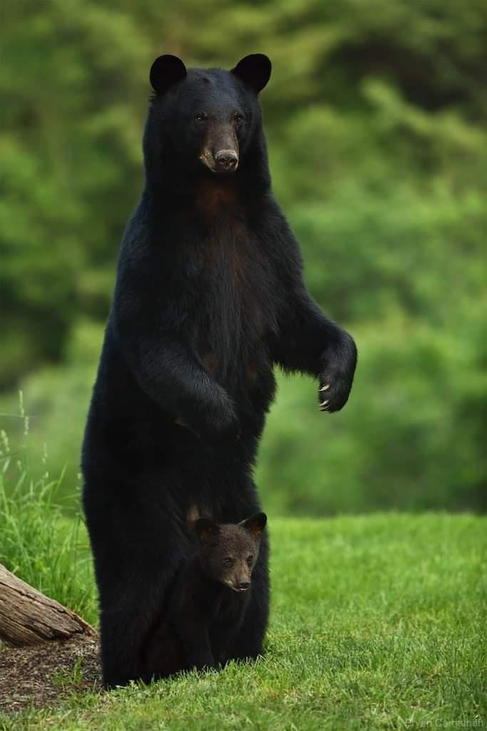 A mama black bear looking out for her cub