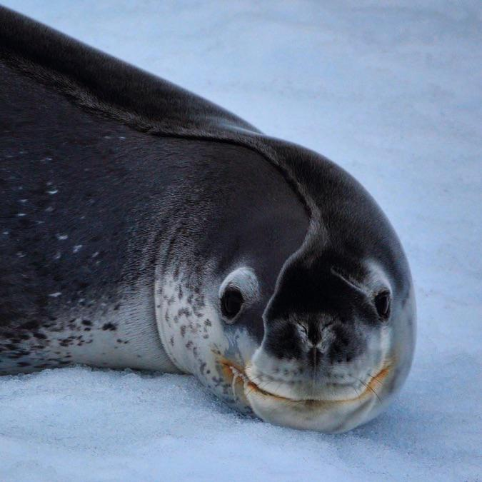 A seal who just woke up from a nap, its body melted the ice it was sleeping on causing this bed head