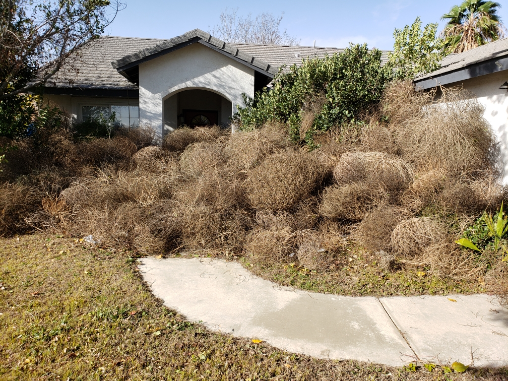 These tumbleweeds that piled up in front of my brother's house