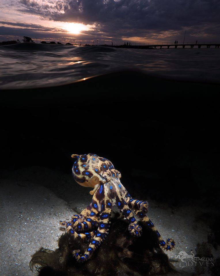 A Southern Blue-Ringed Octopus proudly posing under the shallow waters of Rye Pier in Australia